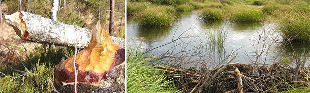 Klassiske bæverspor. Til venstre træ fældet af bæver. Foto: Thomas Lindy Nissen. Til højre en dansk bæverdæmning.