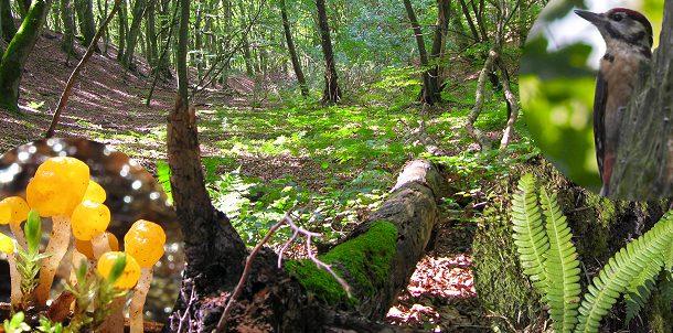De danske skove rummer den største biodiversitet, men artsrigdommen falder fortsat.