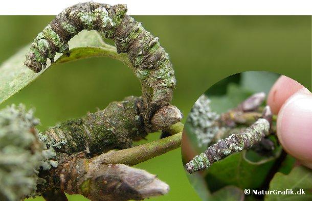 Denne danske målerlarve har udviklet en særpræget kamuflage så den ligner den æblegren som den lever på. Larvens kamuflage skjuler den for fugle, der har larver på menuen.