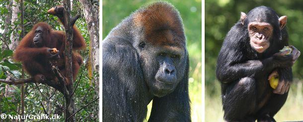 Orangutangen, gorillaen og chimpansen kaldes også for menneskeaber da disse aber ligner os mest.