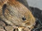 En levende klon af en død, frossen mus er skabt i Japan