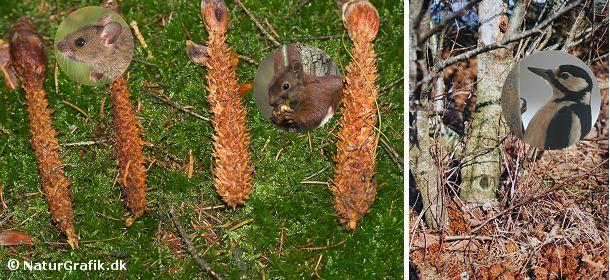Grankogler er en vigitg fødekilde for mange dyr. Yderst til venstre ses to grankogler, der er gnavet af mus. Musen gnaver mere tæt og fint end egernet, hvis kogler er lidt mere flossede (de to kogler til højre). Flagspætten har også glæde af koglerne og undertiden kan man finde store dynger af kogler under et træ. Det er et såkaldt spætteværksted, hvor spætten kiler en kogle fast, bearbejder den og smider den til sidt ned på jorden.