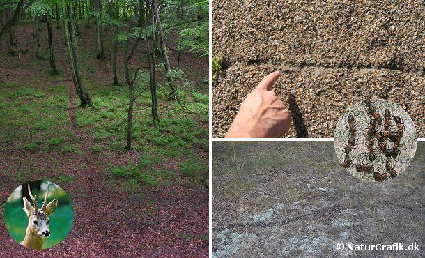 Dyreveksler afslører hvor dyrene bevæger sig. Til venstre en veksel, der flittigt benyttes af rådyr. Også små dyr kan skabe deres egen veksel i en utrolig grad. Til højre ses små stier, der er skabt af skovmyrers vandringer.