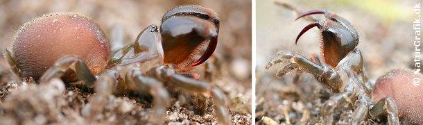 Edderkoppen rejser beredvilligt sine mægtige giftkroge, der næsten kan måle sig med hugormens gifttænder.