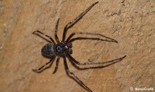 edderkopper i danmark