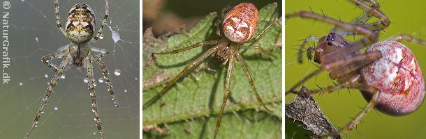 Høstmeta er en smuk edderkopper, der ofte optræder i rødlige farver.