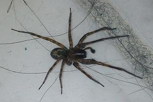 kæmpe edderkop i danmark
