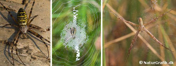 Hunnen (t.v.) kendes let fra den uanseelige han (fotoet til højre). Hvepseedderkoppens tilstedeværelse afsløres let af edderkoppens karakteristiske spind med den hvide zig-zag stribe (midt).