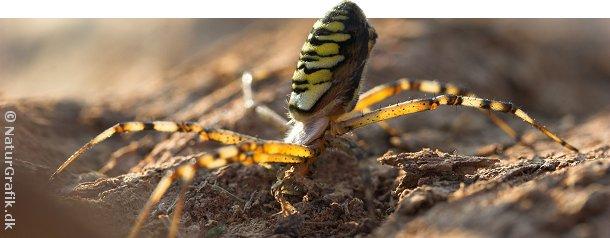Hvepseedderkoppen viser sin sort-gule advarselsfarver, hvis den føler sig truet.