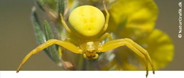 Kamæleonedderkoppen kan skifte farve og derved falde i et med sine omgivelser