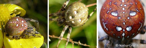 Kvadratedderkoppen er en stor hjulspinder, der kan variere en del i farven. De 4 pletter, der danner et kvadrat er et godt kendetegn.