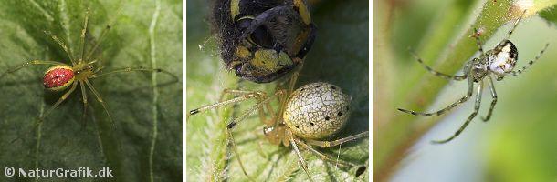 Perleedderkoppen findes i flere farvevarianter. Den kugleformede bagkrop hos hunnen har givet arten sit navn.