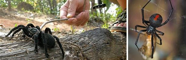 De store edderkopper som tarantellen (tv) er oftest dem, der får de til at gyse mest, men de små arter er de giftigste. Denne sorte enke kendt som redback spider dukkede i 2007 op herhjemme. Enken havde rejst som blind passager med en container.