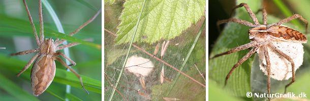 Den almindelige rovedderkop findes især i højere vegetation, hvor man kan finde det tætte spind. Til højre ses en hun bære sit ægspind.