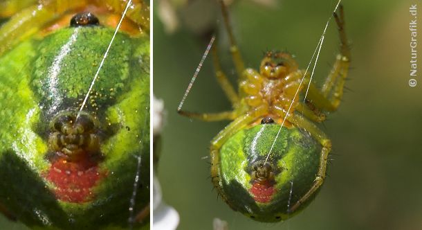 Helt specielt ved edderkopperne er deres evne til at lave spind. Edderkoppen har spindevorter på undersiden af bagkroppen. Spindervorterne udskiller den silke som edderkoppen bruger til fangsnet m.m.