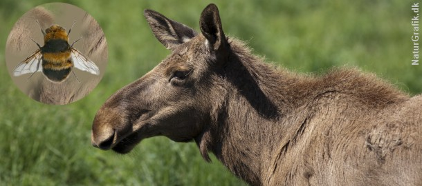 Elgens svælgbremse har bredt sig til det sydlige Sverige. Det er påvist at arten også kan angribe rådyr.