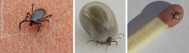 Skovflåter gennemgår forskellige stadier fra larve til nymfe og voksent individ. Billedet i midten viser en voksen flåt, der netop har suget blod. Til højre en nymfe på svovlet af en tændstik.