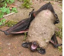 Vær opmærksom på syge flagermus på jorden. Flagermusene kan være inficeret med rabies.