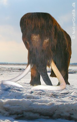 Nye kloningsresultater kan måske genskabe fortidsdyr som denne mammut.