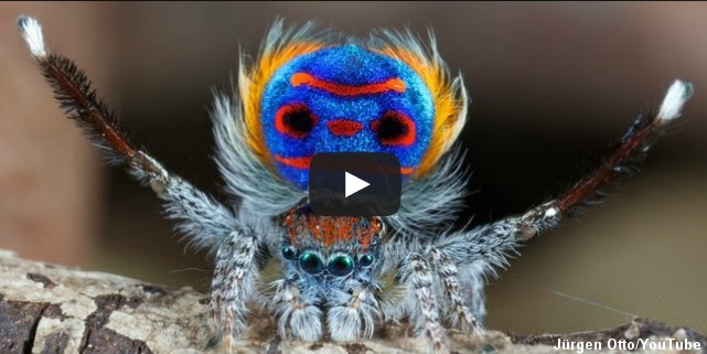 hvepseedderkop giftig