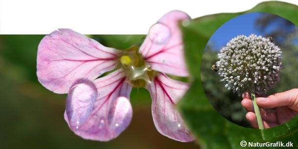 Radisseblomster. Til højre en blomstrende porre, der er meget populær hos insekterne.