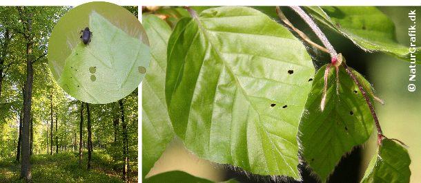 Gnav af bøgeloppe. De nyudsprugne bøgeblade tiltrækker bøgelopperne, der gnaver huller i de endnu bløde blade. Selve bøgelopperne ser man ikke ret tit og man skal næsten være heldig for at få øje på et eksemplar.