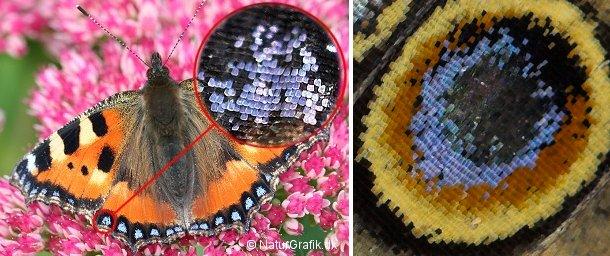 Sommerfuglestøv er skæl, der ofte ligner små teglsten på et tag. Til venstre Nældens Takvinge. Til højre et nærbillede af et vingeøje fra Tidselssommerfuglen.