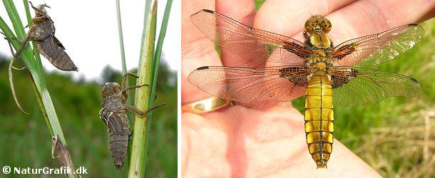 Efter at have levet en stor del af livet under vand kravler guldsmedens larve op ad en plantestængel for at påbegynde den fantastiske forvandling til et flyvende insekt. Insektet bryder ud af den gamle skal, der bliver efterladt tilbage som et tomt skelet (foto til venstre). Til højre en hun af arten blå libel, der lige er brudt ud af den gamle larveskal.