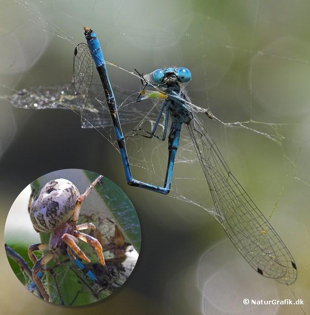 Den blå hestesko-vandnymfe er en af vores mest almindelige vandnymfer. Den uheldige vandnymfe på billedet er fanget i et edderkoppespind. Man kan næsten se hvor fortvivlet den ser ud og med god grund da edderkoppen snart efter gjorde kort proces.
