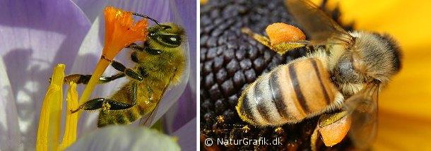 Honningbi på krokus. Honningbien samler pollen (blomsterstøv) i sine pollenbukser på de bagerste ben. Når poserne er fyldte flyver bien hjem og læsser maden af i bistadet. Nektar (sukkervæske) samler bien i en blære, der kaldes honningmaven.
