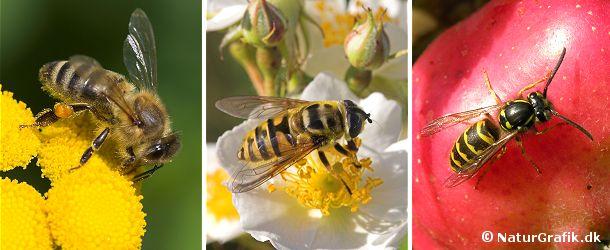Honningbien (tv) har stribet bagkrop, men i gyldne, brune farver. I midten en svirreflue, der beskytter sig ved at efterligner biens udseende. Til højre gedehamsen. Hvepsen er i skarpe sort/gule farver.