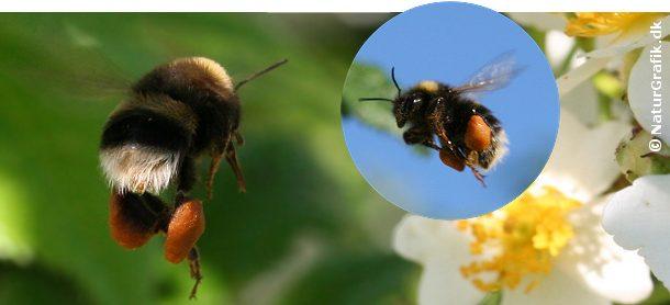 En humlebi flyver tungt belæsset med sine fyldte pollensække på bagbenene.