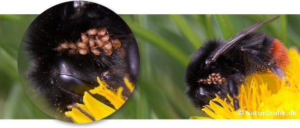 Især om foråret ser man humlebier med talrige, gulbrune mider, der hænger fast på bien. Miderne er ret harmløse og benytter blot bien til transport til biens bo.