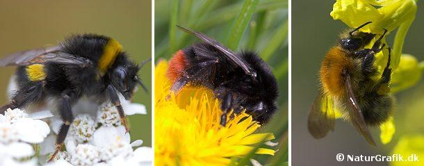 Der findes mange arter af humlebier. Blandt de mest almindelige er jordhumlen (til venstre) og stenhumlen (midt) samt agerhumlen (til højre)