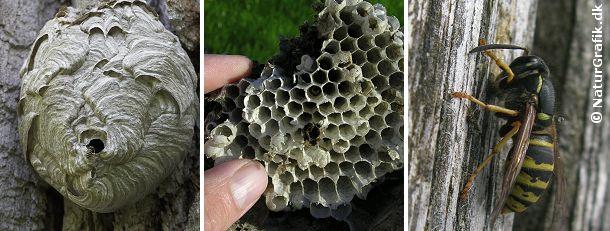 Hvepseboet er opbygget af en papiragtig masse som hvepsene har samlet ved at begnave træer, havemøbler m.m. (foto til højre). Det midterste foto viser cellerne i boet, hvor larverne opfostres.