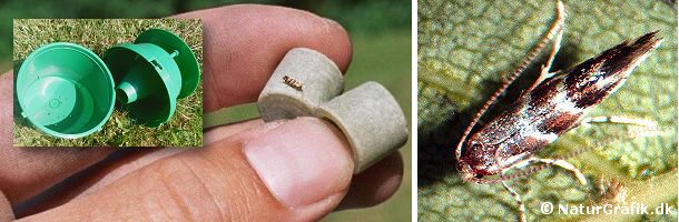 En han af kastanieminérmøl er lokket til en lille feromon-kapsel. Kapslen udsender en duft, som han-sommerfuglen forveksler med den som parringsvillige hunner udsender.