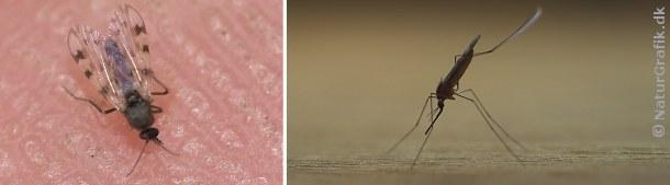 Mitter (tv) er bittesmå myg, der ofte optræder i stort tal og kan være en sand plage for dyr og mennesker. Til højre en dansk malariamyg i klassisk skrå siddestilling.