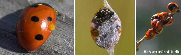 En truet mariehøne kan bløde en gul, klæbrig, bitter væske, der skal afholde fjender fra at angribe og æde mariehønen. I midten ses en mariehøne, der er fanget af en edderkop. Mariehønen bryder dog uskadt frem ad edderkoppesilken. Til højre ses en samling mariehøns, der luner sig i forårssolen, efter at have overvintret sammen vinteren igennem.