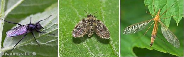 Der findes mange slags myg. Fotoet til venstre viser den fluelignende hårmyg. I midten ses den lille sommerfuglemyg. Til højre et stankelben, der også hører til myggene.