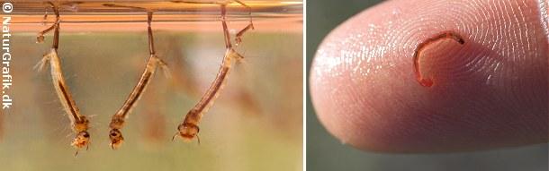 Til venstre ses stikmyggelarver. Den lange spids på larvernes bagkrop er et ånderør, hvormed larven henter luft fra overfladen.