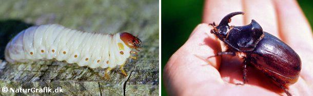 Næsehornsbillens mægtige larve kan måle 10 cm. Til højre den voksne bille, hvor hannen kendes på sit horn.