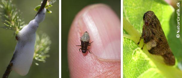 Fjerner man forsigtigt skummet afsløres den grøngule cikade-nymfe og dermed svaret på hvem der spytter i græsset.