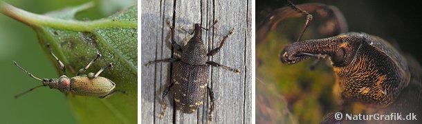 Til venstre den meget almindelige bøgeløvsnudebille. Midterste foto viser Stor Gransnudebille, der lever på grantræer, hvor den kan gøre skade ved at gnave de unge, nyplantede træer. Til højre nærportræt af stor gransnudebille.
