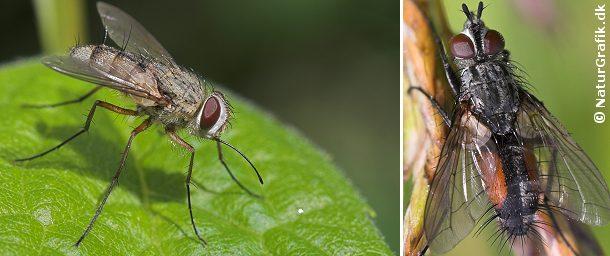 Til venstre snyltefluen Prosena siberita med sin lange, drabelige snabel. Til højre en snylteflue af slægten Cylindromyia. Snyltefluerne kendes bl.a. på de stive børster på bagkroppen.