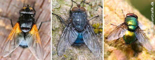 Til venstre gulvinget flue (Mesembrina meri-diana). I midten blå spyflue (Calliphora vomitoria). Til højre en guldflue (Lucilia sp)