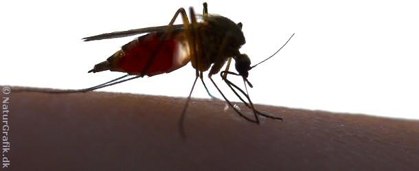 De myg de fleste kender som varsler af kløende mygstik er hun-myggen af slægten Aedes.