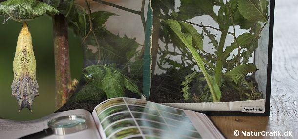 De indsamlede sommerfuglelarver fodres i terrariet med friske planter dagligt. Undgå at stille terrariet i direkte sol da det let bliver for varmt for larverne. Til venstre ses en puppe.