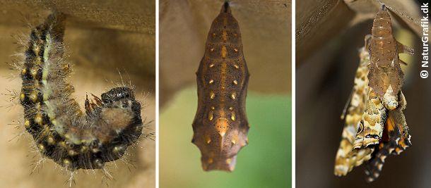 Når larven skal til at forpuppe sig spinder den sig fast i den ene ende og hænger med hovedet nedad. Her en larve af tidselsommerfuglen. Under larvehuden dannes puppen, der hos tidselsommerfuglen har smukke guldpletter. Nogle uger senere bryder den nye sommerfugl frem ad puppen - en storslået forvandling!
