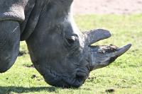 193 næsehorn dræbt af krybskytter i Sydafrika i 1. halvår 2011.