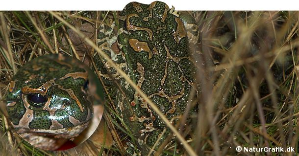 Grønbroget tudse har en kamuflage, der minder om den militæret anvender. Tudsen lever på flere af de østdanske øer.